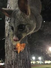 IMG_0533 (dudegeoff) Tags: possums hydepark sydney may 2018 possum nsw australia 20180507sydhydeparkpossums