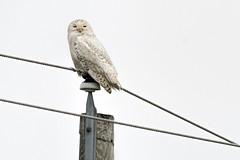 MI: First Snowy Owl (donna lynn) Tags: 2018 may newjerseyaudubon spring michigan njaudubon birds nature wildlife nikon birding snowyowl upperpeninsula up chippewacounty buboscandiacus orderstrigiformes familystrigidae owls