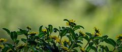 Husarenknöpfchen (p.schmal) Tags: olympuspenepm2 hamburg farmsenberne balkonblumen minipetunien husarenknöpfchen