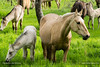 Next generation is here! (ILO DESIGNS) Tags: 150mm 2018 caballos d3300 fauna guadarrama madrid rural nature horses meadow countryside color animals europe spain outdoors life naturallight sigma15028 pradera crías sunny sunlight
