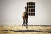 Lykkesborgs Roberta (vesterskov) Tags: daniel vesterskov foto photo fotografi photography sony a99 a99v slta99 slta99v sigma 70200mm f28 28 ii ex dg apo macro hsm 70200 mm full frame fullframe team pony power horses horse hest hesteliv heste dansk danish ponies riding ride lykkesborg foal