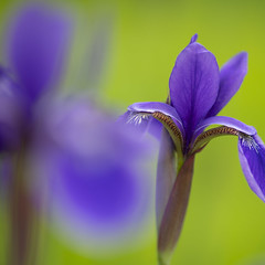 japanese iris 1597 (DannyBurkPhotography) Tags: iris purple violet closeup bokeh soft focus zeiss makroplanar 100mm f2 square makroplanar1002ze japanese