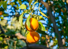 Orange (✦ Erdinc Ulas Photography ✦) Tags: orange fruit sevilla city green focus bokeh spain spanish españa travel leaf culture naranja wood branch smooth background anaranjado traditional fruto seville tree macro food panasonic