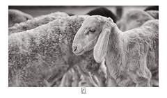 Heard in Herd (krishartsphotography) Tags: krishnansrinivasan krishnan srinivasan krish arts photography fineart fine art monochrome evening sheep herd listened affinity photo bangalore karnataka india
