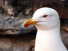 Seagull (markb120) Tags: gull seagull mew seamew bird fowl flyer flier beak bill pecker rostrum neb nib plumage feathering feather coverts coat dress