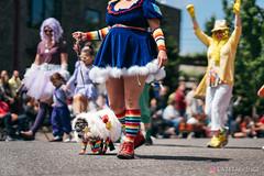 PugCrwal-117 (sweetrevenge12) Tags: portland oregon unitedstates us pug parade crawl brewing sony pugs dog pet