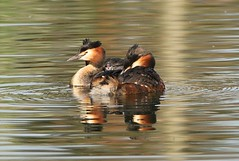 Mr & Mrs Great Crested Grebe. (Bogger3.) Tags: greatcrestedgrebes babygrebe brandesburton yorkshire pool canon7dmk2 tamron150x600lens fullzoom sunnyday coth5 ngc