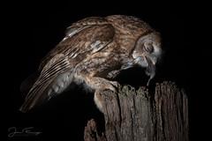 Tawny Owl (Mr F1) Tags: wild tawnyowl talons hunting feeding johnfanning woodland wales uk nature outdoors perch post hide feathers detail eating mouse wildlife birds bop birdsofprey