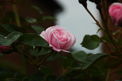 DSC_2480 (PeaTJay) Tags: nikond70s reading lowerearley berkshire macro micro closeups gardens outdoors nature flora fauna plants flowers rose roses rosebuds