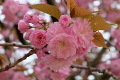 Jardin des Plantes (sottolestelle) Tags: paris printemps spring sakura cerisier jardindesplantes
