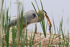 Great Blue Heron with Bullhead (Bob the Birdman and All Around Nature Guy) Tags: greatblueheron ardeaherodias robertmiesner bobthebirdman greatblue heron bird animal wildlife nature