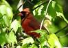 Northern Cardinal Male (Anne Ahearne) Tags: wild bird animal nature wildlife maple leaves tree red northerncardinal cardinal