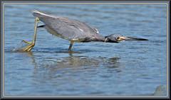 The approach (WanaM3) Tags: wanam3 nikon d7100 nikond7100 texas pasadena clearlakecity horsepenbayou bayou outdoors nature wildlife canoeing paddling animal bird heron tricoloredheron