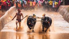 Kambala (Sharathsgiri) Tags: kambala india mangaluru karnataka buffalorace ngc natgeo your shot canon buffalo photography