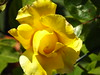 The Yellow Climbing Rose (Cornishcarolin. Stupid busy!! xx) Tags: cornwall penryn flowers roses nature