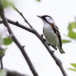 Chestnut-sided Warbler thumbnail