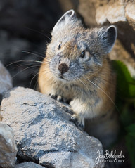 pika (1 of 1) (Jami Bollschweiler Photography) Tags: pika utah wildlife rabbit like mountains northern photography