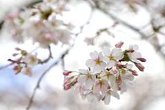 Cherry Blossom (YY) Tags: amsterdamsebos cherryblossompark amstelveen amsterdam netherlands park cherryblossom sakura flowers flower kersenbloesempark