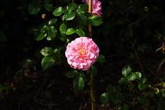 DSC_0142 (PeaTJay) Tags: nikond750 reading lowerearley berkshire macro micro closeups gardens outdoors nature flora fauna plants flowers rose roses rosebuds