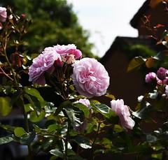 DSC_0149 (PeaTJay) Tags: nikond750 reading lowerearley berkshire macro micro closeups gardens outdoors nature flora fauna plants flowers rose roses rosebuds