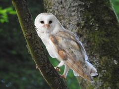 Barn Owl (Simply Sharon !) Tags: barnowl owl bird birdofprey raptor preditor hawkconservancytrust