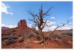 Dead Juniper in Monument Valley (Paulemans) Tags: voigtländerheliarhyperwide10mmf56aspheric 2018usavacation paulderoode paulemans juniper tree monumentvalley utah nevada voigtländer heliarhyper wide 10mm f56 aspherical voigtländerheliarhyperwide10mmf56aspherical nikvivenza