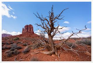 Dead Juniper in Monument Valley
