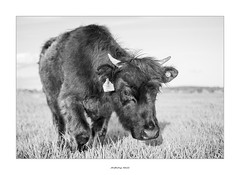 Here she comes! (AnthonyCNeill) Tags: cow black white schwarz weiss outdoor kuh livestock farm animal tier