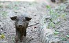 Babe (salaminijo) Tags: babethepig prase mangulica lightanddark forest outdoor canon animals pet pigs