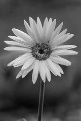 gerbera daisy (jimmy_racoon) Tags: 70200 f4l is canon 5d mk2 bw black white flower nature 70200f4lis canon5dmk2 blackwhite