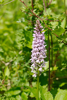 Common spotted-orchid4