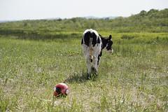 no more games (raisalachoque) Tags: smileonsaturday footballfever grass summer outdoor football soccer sport ball cow