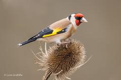 Goldfinch D85_2428.jpg (Mobile Lynn) Tags: birds goldfinch finch nature bird fauna fringilladae oscines passeri passeriformes songbird songbirds wildlife coth specanimal coth5 ngc npc