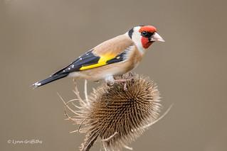 Goldfinch D85_2428.jpg