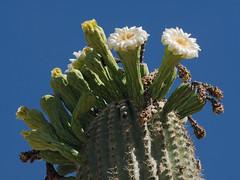 Saguaro blooms and buds in the Cactus & Succulent Garden, Tucson Botanical Gardens (Distraction Limited) Tags: carnegieagigantea saguaro carnegiea cactus flowerbuds buds flowers cactusandsucculentgarden cactussucculentgarden tucsonbotanicalgardens tucsonbotanical botanicalgardens gardens tucson arizona tbg20180531
