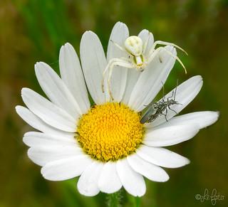 Crab Spider & Beetles