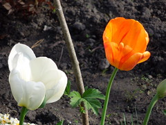 White and orange (cloversun19) Tags: garden flower macro tulip tulips bright flowers grass spring summer love story green pink warm romantic beauty glory happy positive blooming blossoming blossom bloom flowering june picture flowerimages image red may summerimage springimage plant onetulip color pollen flowerbed ground 2018 butterfly redflower dahlia vase
