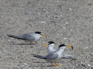 Least Terns - Huntington Beach, CA