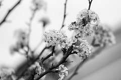Cherry Blossoms 2 (LongInt57) Tags: cherry tree blossom bloom flower branch bw monochrome black white grey gray nature garden stlouis fairviewheights illinois usa
