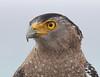 A crested serpent eagle: a portrait (takashi muramatsu) Tags: crested serpent eagle spilornischeela ishigaki island okinawa japan nikon d850 portrait カンムリワシ 石垣島