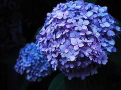 The Rainy Season (OskTani.) Tags: blue flower japan shadow asia