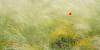 Loneliness (Ignacio Ferre) Tags: campo field españa spain segovia verde amarillo yellow green amapola flor flower poppy nikon airelibre naturaleza nature primavera spring hierba soledad loneliness