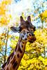 Girafa (Giraffa camelopardalis) (Claudio Arriens) Tags: girafa zoo zoológico sapucaiadosul brasil canoneos40d giraffa giraffacamelopardalis natureza