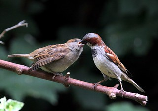 Sparrow and fledgeling.