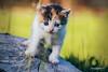 Tiger (Diego Pianarosa (aka Pinku)) Tags: diegopianarosa pinku cat gatto tigre tiger cure tenero cucciolo piccolo micio micetto soe wow