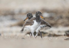 Oystercatcher Chicks (swmartz) Tags: nikon nature newjersey outdoors wildlife birds shorebird belmar oystercatcher chicks babies siblings june 2018