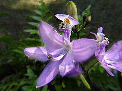 Orchidaceae : Calopogon tuberosus - Grass Pink Orchid flower (William Tanneberger) Tags: orchidaceae calopogon calopogontuberosus wildflower pinkflower flowers grasspinkorchid grasspink explore orchid wdtjune inexplore