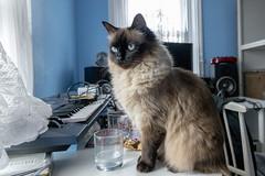studio cat (Mark Rigler -) Tags: cat ragdoll blue eyes indoors studio