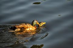 _MG_4007a (Rick_Moeller) Tags: nature wildlife birds stferdinandpark florissant missouri mo outdoors ducks