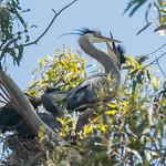 DSC_2314.jpg Great Blue Heron nest, SC Yacht Harbor thumbnail